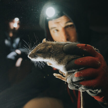 New York – An Ecosystem Filled With Rats?