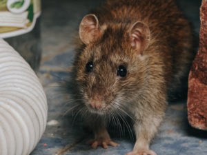 Rats Are Migrating Into Residential Neighborhoods And Establishing Nests Within Vehicles