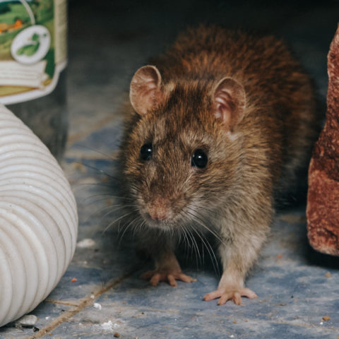 A thumbnail of a rat for our Rat Service Page