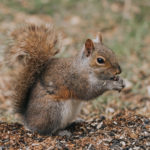 A thumbnail of a squirrel for our Squirrel Service Page
