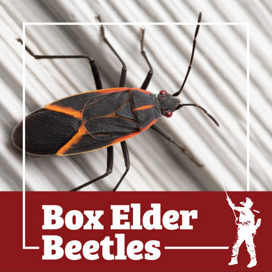 box elder, box elder beetle, beetle, beetles, town and country, town and country pest solutions, pest, pests, rochester, syracuse, buffalo, rochester ny, syracuse ny, buffalo ny, new york, western ny, rochester exterminators, syracuse exterminators, buffalo exterminators, bed bugs, fabry, matt fabry, extermination, hire the pros, friendly, trustworthy