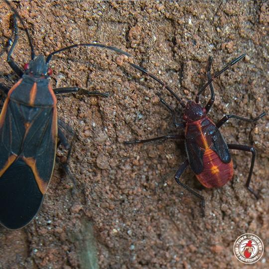 Boxelder Bugs Control Rochester Syracuse Buffalo In Ny