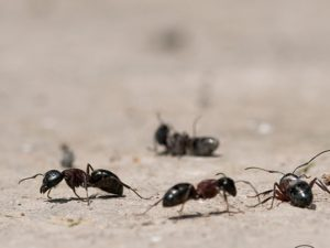 Ant Pests That Scatter Throughout Indoor Areas And How To Keep Them From Invading Homes During The Colder Months