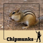 chipmunk, chipmunks, acorn, town and country, town and country pest solutions, pest, pests, rochester, syracuse, buffalo, rochester ny, syracuse ny, buffalo ny, new york, western ny, rochester exterminators, syracuse exterminators, buffalo exterminators, bed bugs, fabry, matt fabry, extermination, hire the pros, friendly, trustworthy