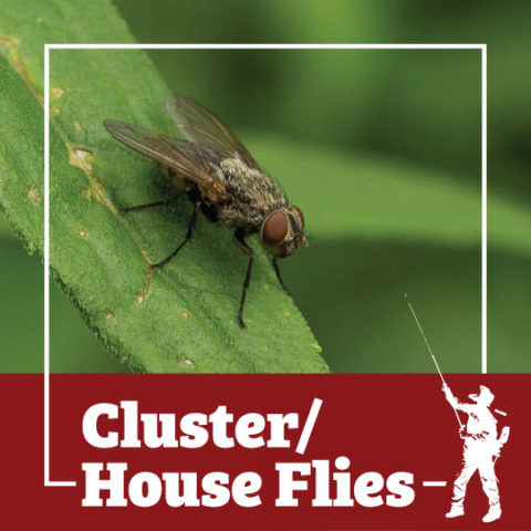 cluster fly, house fly, flies, town and country, town and country pest solutions, pest, pests, rochester, syracuse, buffalo, rochester ny, syracuse ny, buffalo ny, new york, western ny, rochester exterminators, syracuse exterminators, buffalo exterminators, bed bugs, fabry, matt fabry, extermination, hire the pros, friendly, trustworthy