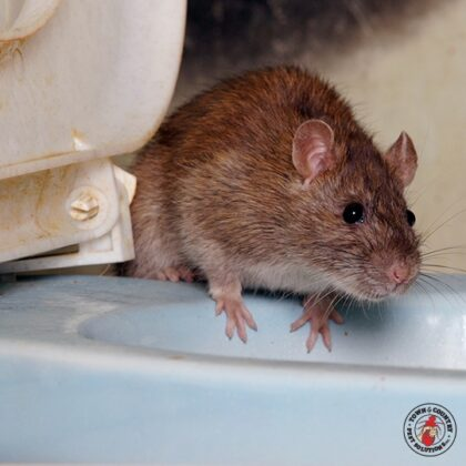 Why Do Norway Rats Carry Numerous Disease Pathogens, And How Do They Transmit These Pathogens To Humans?