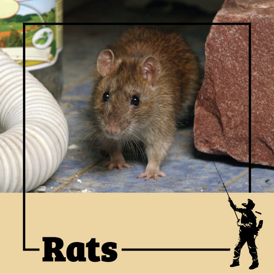 rat, rats, town and country, town and country pest solutions, pest, pests, rochester, syracuse, buffalo, rochester ny, syracuse ny, buffalo ny, new york, western ny, rochester exterminators, syracuse exterminators, buffalo exterminators, bed bugs, fabry, matt fabry, extermination, hire the pros, friendly, trustworthy