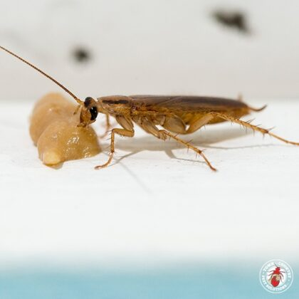 Which Cockroach Species Cannot Survive Outside Of Man Made Structures?