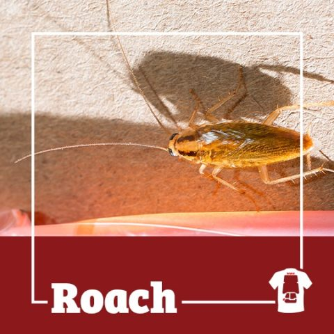 roach, roaches, cockroaches, town and country, town and country pest solutions, pest, pests, rochester, syracuse, buffalo, rochester ny, syracuse ny, buffalo ny, new york, western ny, rochester exterminators, syracuse exterminators, buffalo exterminators, bed bugs, fabry, matt fabry, extermination, hire the pros, friendly, trustworthy