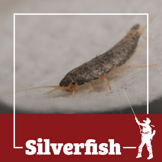silverfish, town and country, town and country pest solutions, pest, pests, rochester, syracuse, buffalo, rochester ny, syracuse ny, buffalo ny, new york, western ny, rochester exterminators, syracuse exterminators, buffalo exterminators, bed bugs, fabry, matt fabry, extermination, hire the pros, friendly, trustworthy