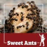 sweet ants, sweet ant, town and country, town and country pest solutions, pest, pests, rochester, syracuse, buffalo, rochester ny, syracuse ny, buffalo ny, new york, western ny, rochester exterminators, syracuse exterminators, buffalo exterminators, bed bugs, fabry, matt fabry, extermination, hire the pros, friendly, trustworthy