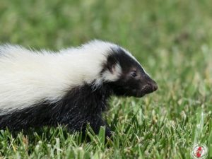 Skunks Significance to Native Americans