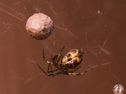Garden Spiders Are The Largest And Glitziest Spider Species Found Around Upstate New York Homes