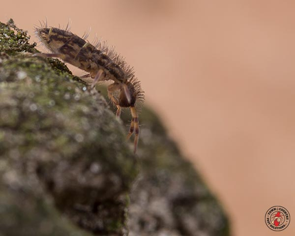 Springtails - Town & Country Pest Solutions