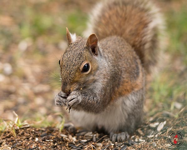 squirrel, squirrels, town and country, town and country pest solutions, pest, pests, rochester, syracuse, buffalo, rochester ny, syracuse ny, buffalo ny, new york, western ny, rochester exterminators, syracuse exterminators, buffalo exterminators, bed bugs, fabry, matt fabry, extermination, hire the pros, friendly, trustworthy