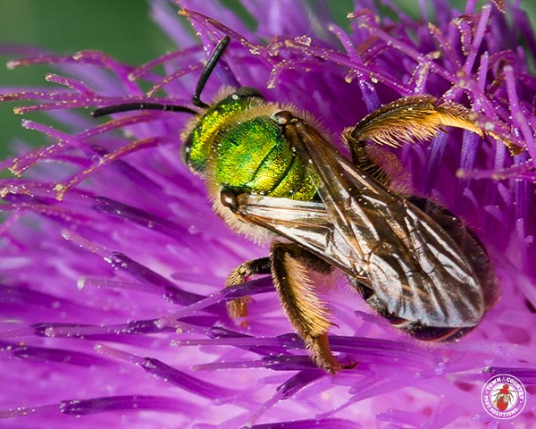 sweat bee, sweat bees, sweatbee, sweatbees, sweet bee, bee, bees, town and country, town and country pest solutions, pest, pests, rochester, syracuse, buffalo, rochester ny, syracuse ny, buffalo ny, new york, western ny, rochester exterminators, syracuse exterminators, buffalo exterminators, bed bugs, fabry, matt fabry, extermination, hire the pros, friendly, trustworthy