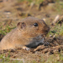vole, voles, town and country, town and country pest solutions, pest, pests, rochester, syracuse, buffalo, rochester ny, syracuse ny, buffalo ny, new york, western ny, rochester exterminators, syracuse exterminators, buffalo exterminators, bed bugs, fabry, matt fabry, extermination, hire the pros, friendly, trustworthy