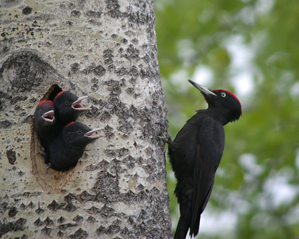 woodpecker, woodpeckers, bird, birds, town and country, town and country pest solutions, pest, pests, rochester, syracuse, buffalo, rochester ny, syracuse ny, buffalo ny, new york, western ny, rochester exterminators, syracuse exterminators, buffalo exterminators, bed bugs, fabry, matt fabry, extermination, hire the pros, friendly, trustworthy