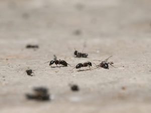 Carpenter Ant Infestation