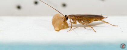 Researchers Have Determined Why Some Cockroach Populations In Homes Proliferate At Unusually Rapid Rates