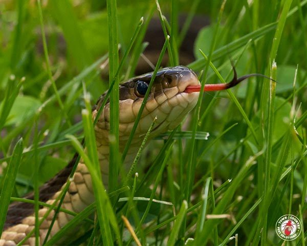snake, garter snake, town and country, town and country pest solutions, pest, pests, rochester, syracuse, buffalo, rochester ny, syracuse ny, buffalo ny, new york, western ny, rochester exterminators, syracuse exterminators, buffalo exterminators, bed bugs, fabry, matt fabry, extermination, hire the pros, friendly, trustworthy