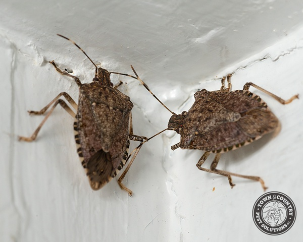 stink bug, stink bugs, shield bugs, shield bug, beetle, town and country, town and country pest solutions, pest, pests, rochester, syracuse, buffalo, rochester ny, syracuse ny, buffalo ny, new york, western ny, rochester exterminators, syracuse exterminators, buffalo exterminators, bed bugs, fabry, matt fabry, extermination, hire the pros, friendly, trustworthy